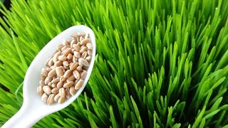 How To Grow Wheatgrass at Home  - Cheap and Easy Method(, 2014-11-02T09:22:38.000Z)