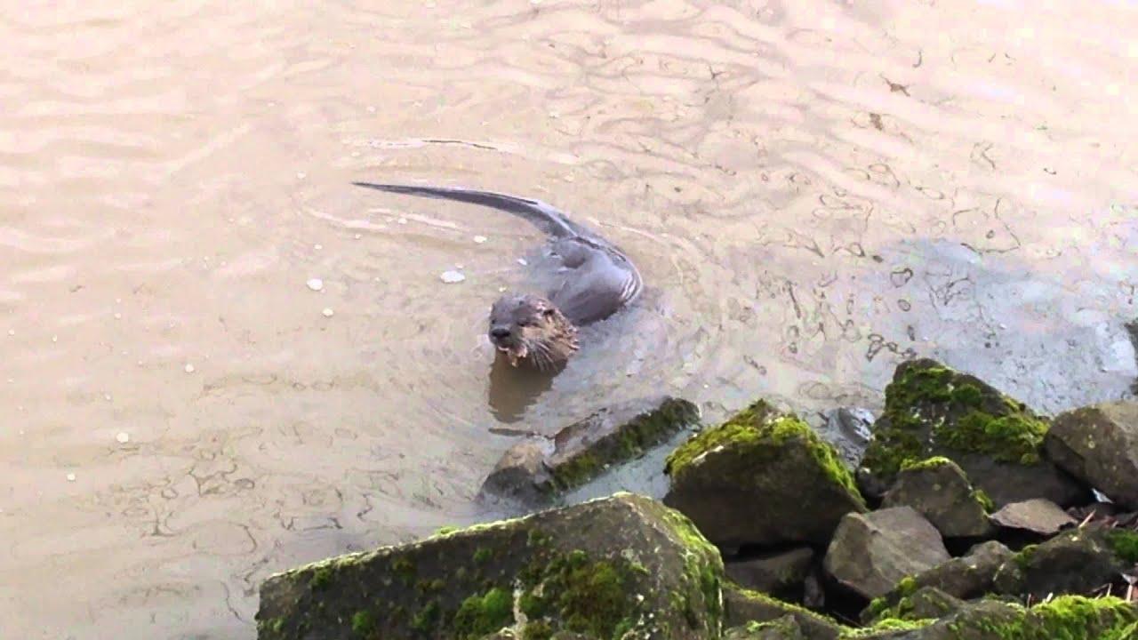 Willamette River Otter - YouTube