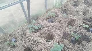 Майские томаты// Огород в мае // Секреты Хороших Урожаев