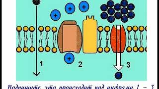 Лабораторная работа Явление плазмолиза и деплазмолиза