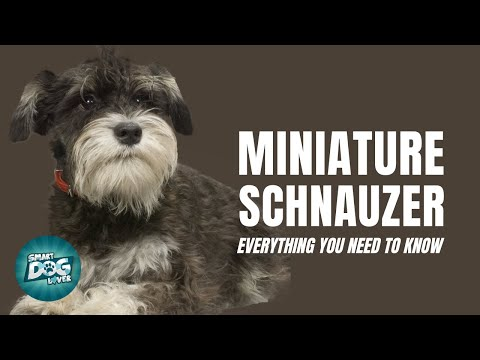 Miniature Schnauzer Dog Breed Guide | Dogs 101 - Miniature Schnauzer