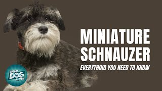 Miniature Schnauzer Dog Breed Guide | Dogs 101  Miniature Schnauzer