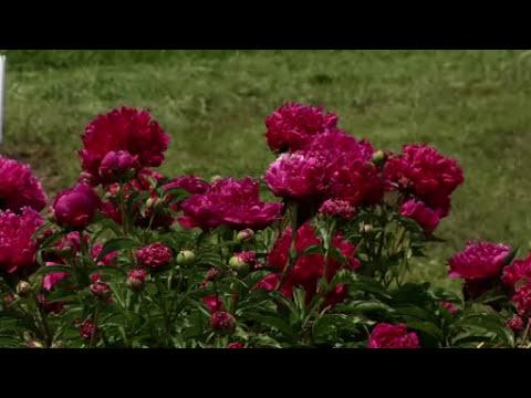 Prairie Yard & Garden: Peonies