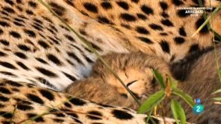 Grandes documentales - La madre guepardo