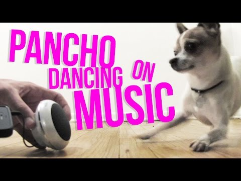 Chihuahua Pancho dancing with music