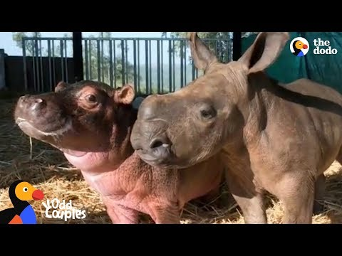 Baby Hippo and Orphaned Rhino Fall In Love With Each Other | The Dodo Odd Couples