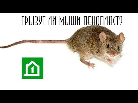 Грызут ли мыши пенопласт?