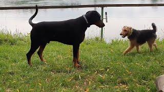 Doberman vs Fox Terrier