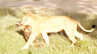 Epic Dangerous Battle Between Lions and Bull | The Hunt | BBC Earth 2019