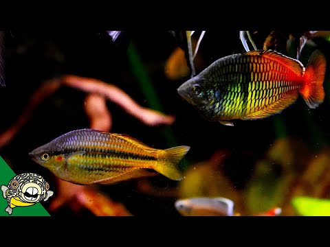 WOW! Amazing Rainbowfish and African Cichlids Fish Room Tour With Steenfott Aquatics