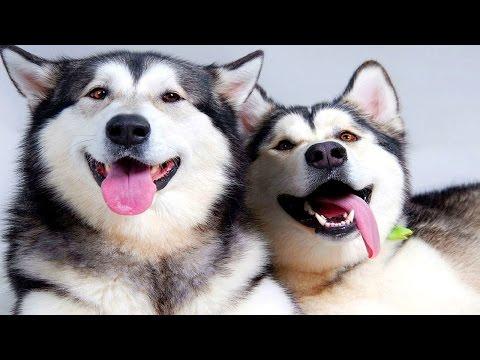 Chú chó Husky - Alaska rảnh rỗi tăng động vui chơi cực kỳ hài hước