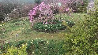 Magnolia at Cheollipo Garden, …