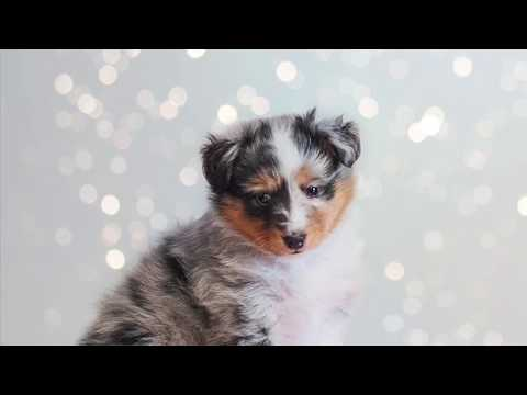 Sheltie 3 months old, Shetlandsheep dog Ikebara, tricks and fun