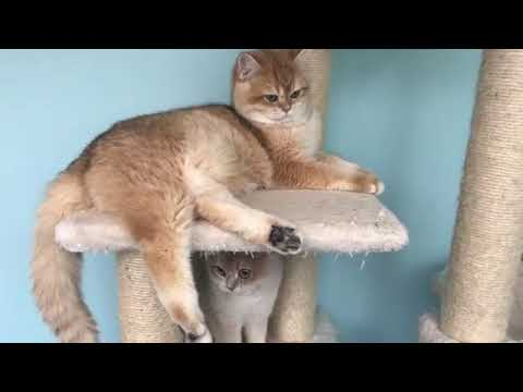 Cute Funny Viral Videos of Brtish Golden Cat|British Shorthair