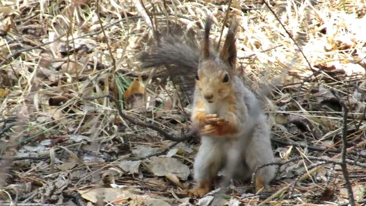 Белка меняет зимнюю шубку на летнюю, Squirrel molts in spring