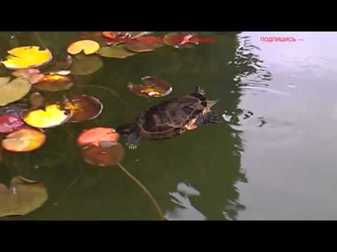 гиганская красноухая черепаха и её семья в пруду