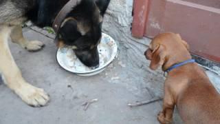 Смешные животные Овчарка ест кашу, щенок таксы наблюдает