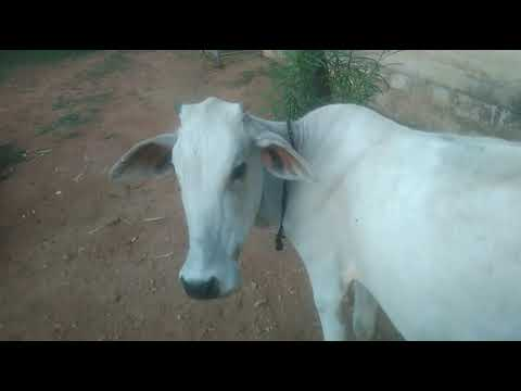 Download Kids Cow Videos - Cow Videos For Children | Cow Videos | Cute Cows Video | Cows Sound Without Music