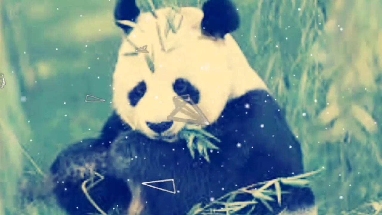 صور دب الباندا الجزء الثاني💟💗 Youtube