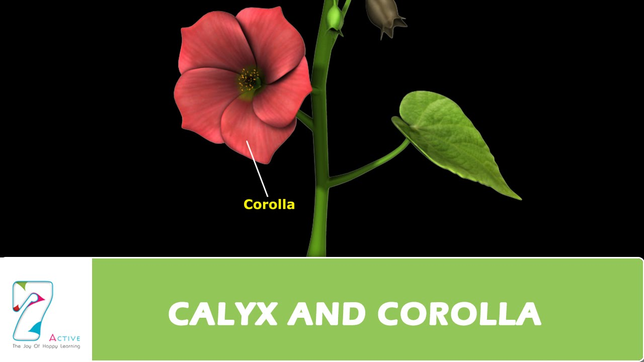 Calyx And Corolla Youtube