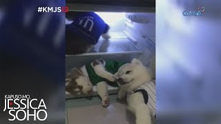 Kapuso Mo, Jessica Soho: Husky puppies, cool dogs!