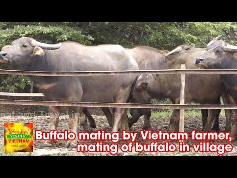 Buffalo mating by Vietnam farmer, mating of buffalo in village