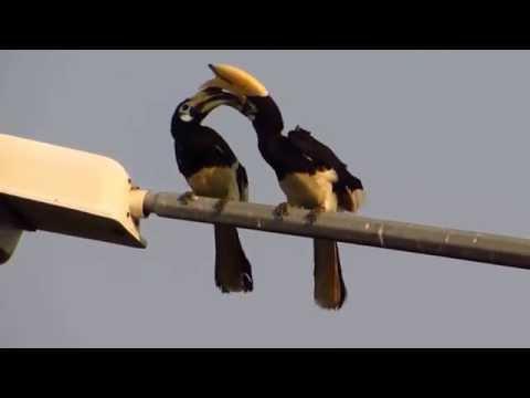 Oriental-Pied Hornbill @ Sekinchan Malaysia