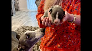 We're Getting A Whippet Puppy!