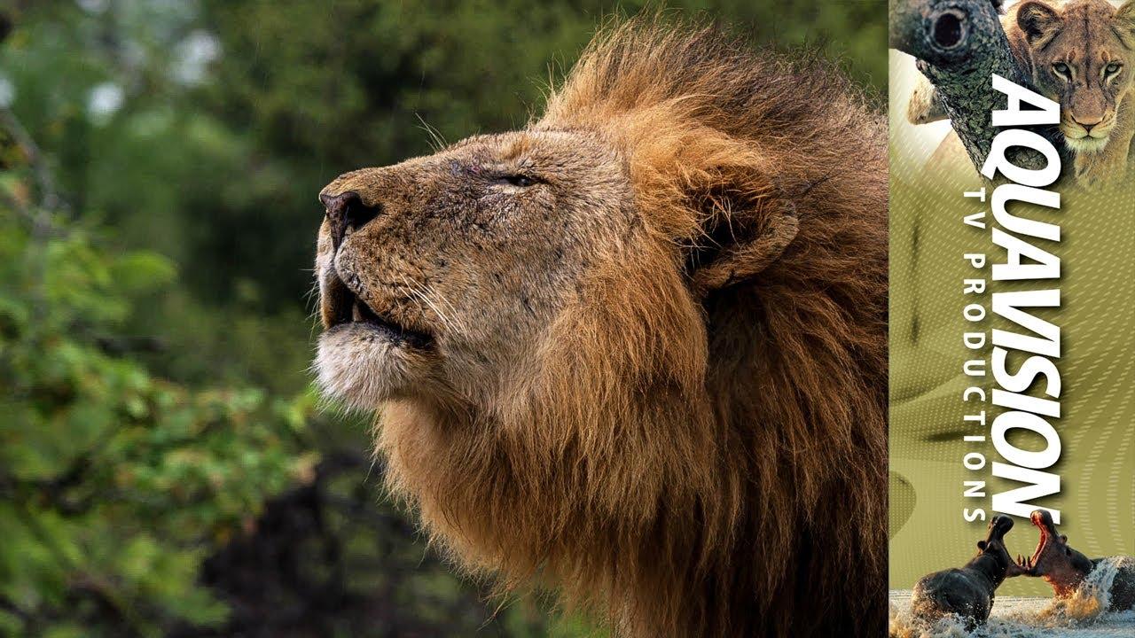 powerful roar of a majestic wild african male lion stock
