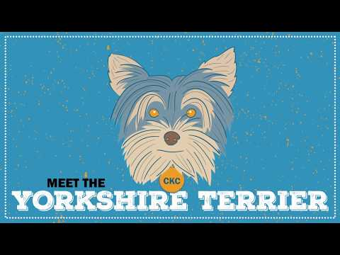 Breed Spotlight: the Yorkie