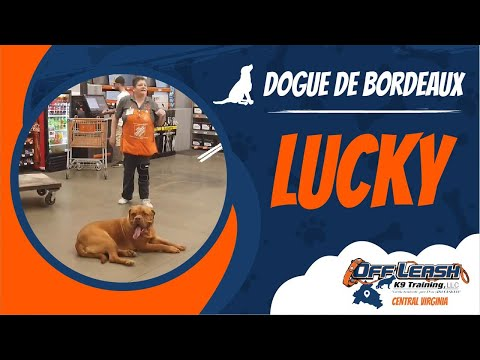 Dogue de Bordeaux (Lucky) | Richmond's Best Dog Trainers | Off Leash K9 Training