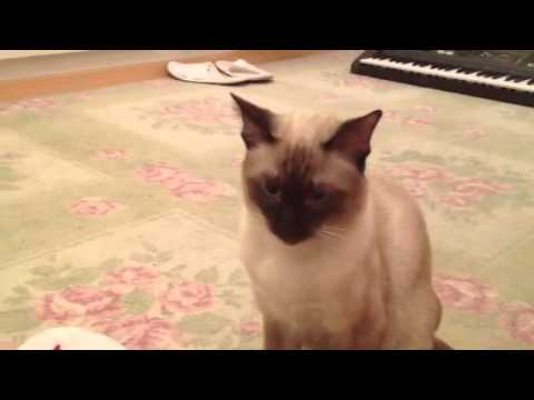 Siamese cat attacking foot