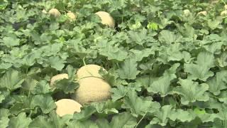 Cantaloupe - Growing