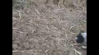 Охота с Русским охотничьим спаниелем