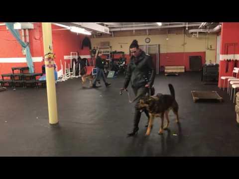 Training | Benny Board and Train Drop Off | Solid K9 Training Dog Training