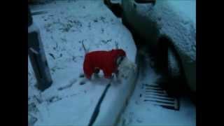 My Miniature Schnauzer's First Snow | Prvi Sneg Mog Patuljastog šnaucera