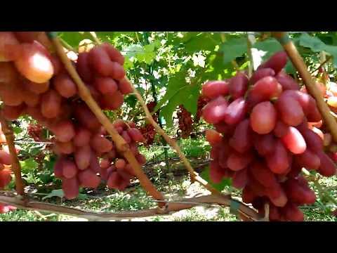 виноград 2019  виноград Капелюшного Сенсация