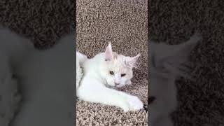 Красный серебристый биколор (ds03) кот Мейн-кун, 5 месяцев