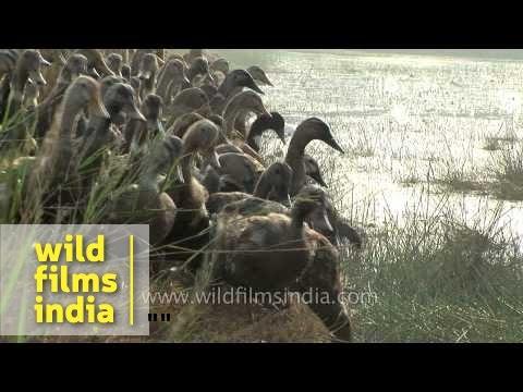 Domesticated ducks waddling along