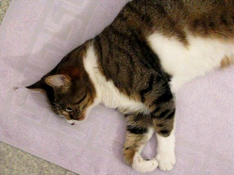 maine coon cat health issues