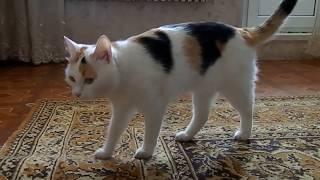 Трёхцветная кошечка ведёт себя как собачка))