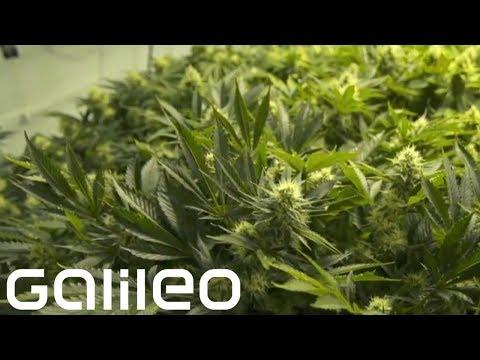 Der Marihuana-Boom | Galileo