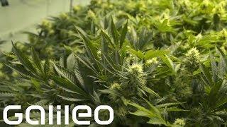 Der Marihuana-Boom Galileo