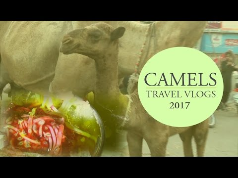 Camels in Pakistan - Travel Vlog 2017 by Diary Vlogs | Asmar Hussain