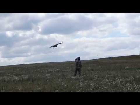 imperial eagle in flight