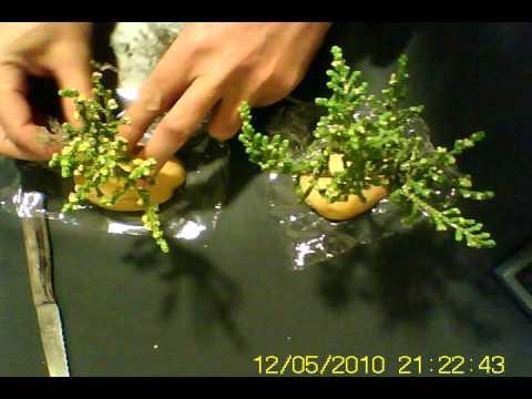 Arbol enano para belen tree for nativities avi youtube for Arbustos para el jardin