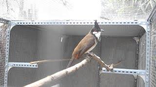 luyện giọng chào mào - Nhanh căng lửa | chào mào, chào mào hót hay, bird, นกกรงหัวจุก