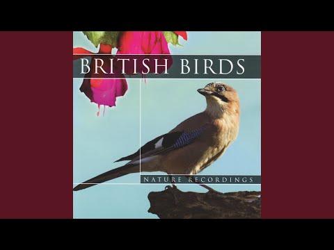 British Birds - Great Tit Bird Sounds (Nature Sounds)