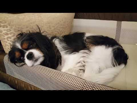 Sleep talking - Cavalier King Charles Spaniel
