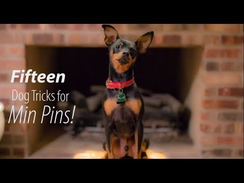 15 Dog Tricks for Min Pins